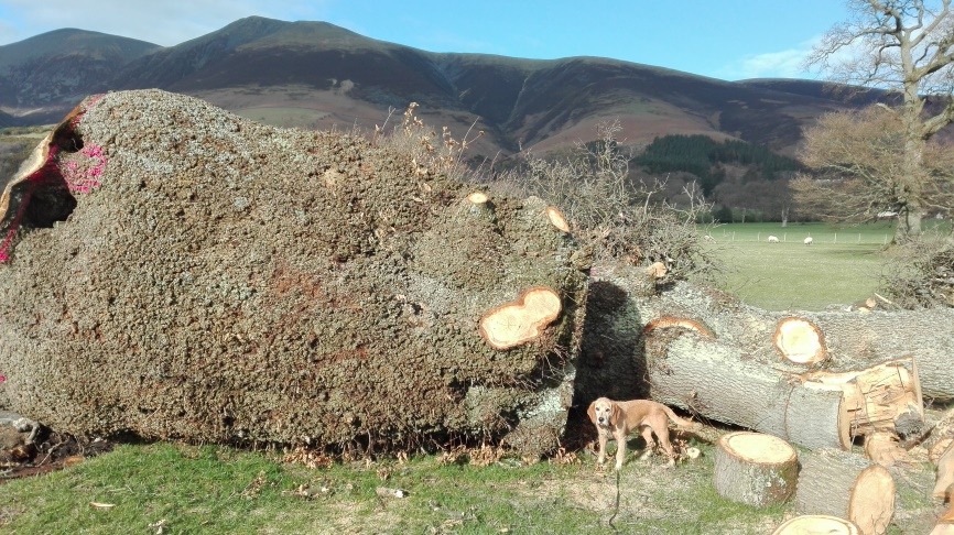 Lake District United Utilities Damage Burr Oak
