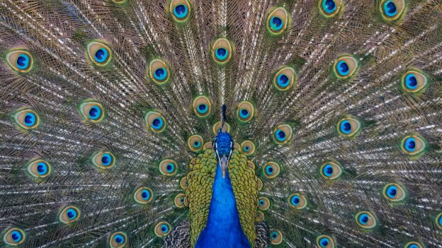 Male peacock displaying feathers
